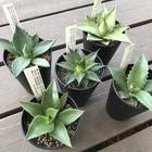 今注目の植物アガベ